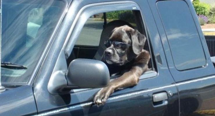 Собаки за рулем: лучшие четвероногие водители