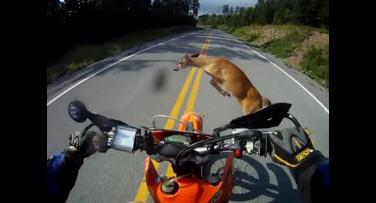 Мотоциклист «забодал» оленя, встал и поехал дальше
