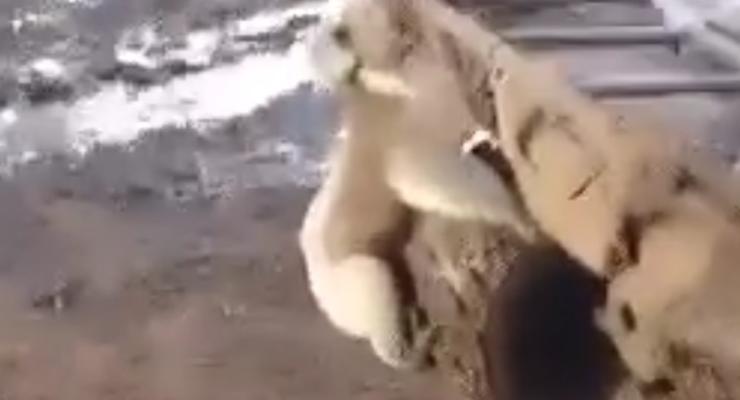 В Австралии на квадроцикл напала ... коала (видео)