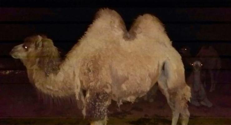 В России стадо верблюдов затоптало автомобиль