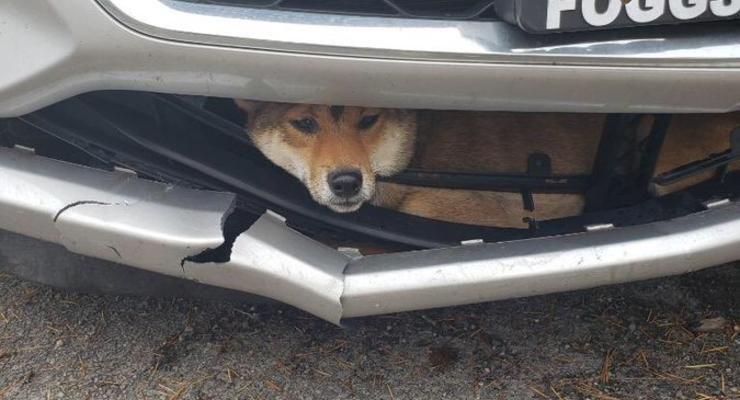 Сбитый пес застрял в бампере и выжил - его заметили через 20 км